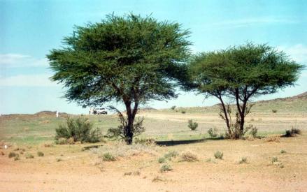 تعريف وأنواع شجرة السدر وثمرتها - البيئة تكاثر السدر وفوائده - وصفات وخلطات لإستخدام نبات السدر 10405.jpg