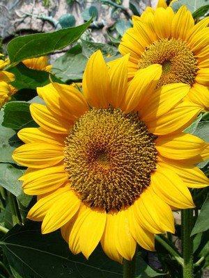 نبات زهرة الشمس 47403.jpg