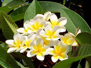 الياسمين نبات عطري - خصائص والمكونات الفعالة لزيت الياسمين - طرق استخلاص الزيت العطري لأزهارالياسمين  استخدامات واختيار زيت الياسمين  - وطرق العناية واستخدام بأزهار الياسمين - شاي الياسمين 64264.jpg