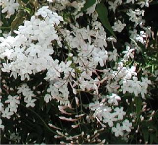 الياسمين نبات عطري - خصائص والمكونات الفعالة لزيت الياسمين - طرق استخلاص الزيت العطري لأزهارالياسمين  استخدامات واختيار زيت الياسمين  - وطرق العناية واستخدام بأزهار الياسمين - شاي الياسمين 64268.jpg