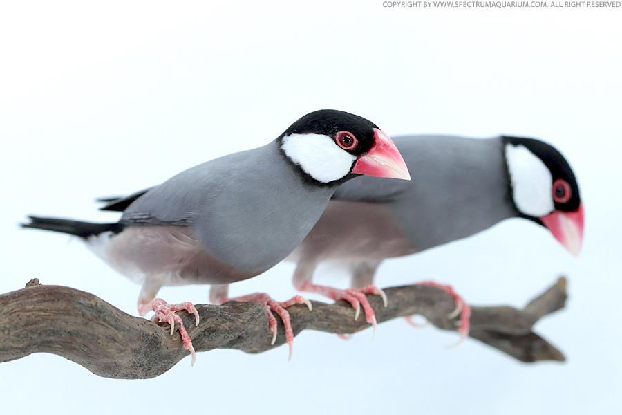 صور طيور الجاوا ، صور انواع طائر الجاوا