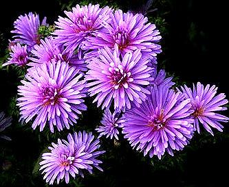 زهور النجمية تعتبر من الأزهار المعمرة 92498