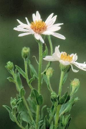 زهور النجمية تعتبر من الأزهار المعمرة 92499