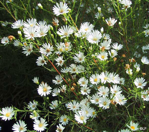 زهور النجمية تعتبر من الأزهار المعمرة 92500