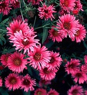 زهور النجمية تعتبر من الأزهار المعمرة 92502