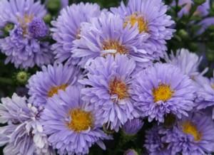 زهور النجمية تعتبر من الأزهار المعمرة 92503