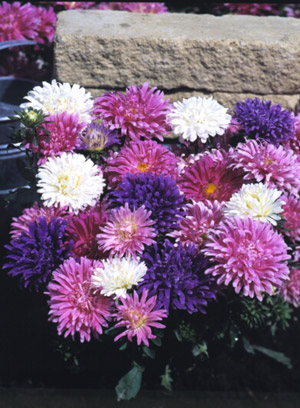زهور النجمية تعتبر من الأزهار المعمرة 92504