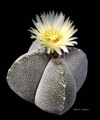 زهور النجمية تعتبر من الأزهار المعمرة 92510
