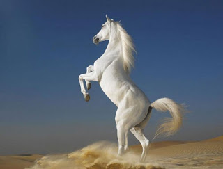 الخيول العربية الاصيلة
