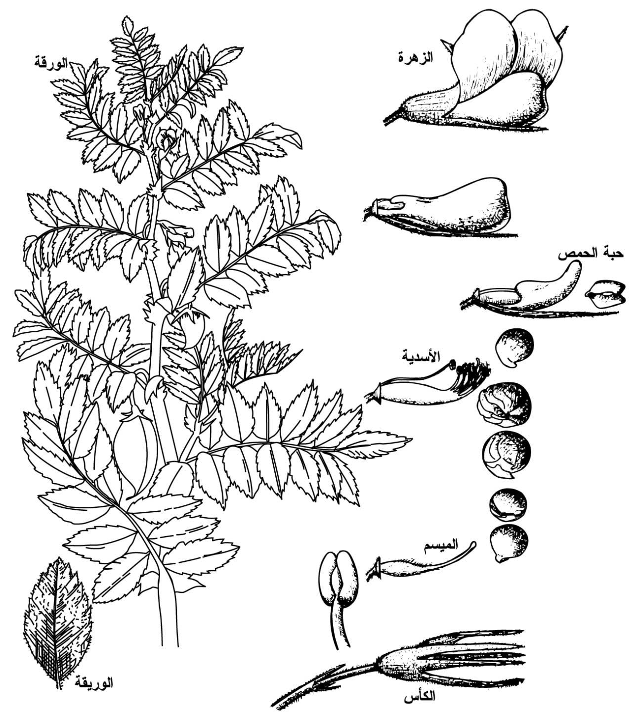 الحمص,زراعة الحمص,معلومات 184925.jpg