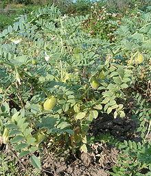 الحمص,زراعة الحمص,معلومات 184926.jpg