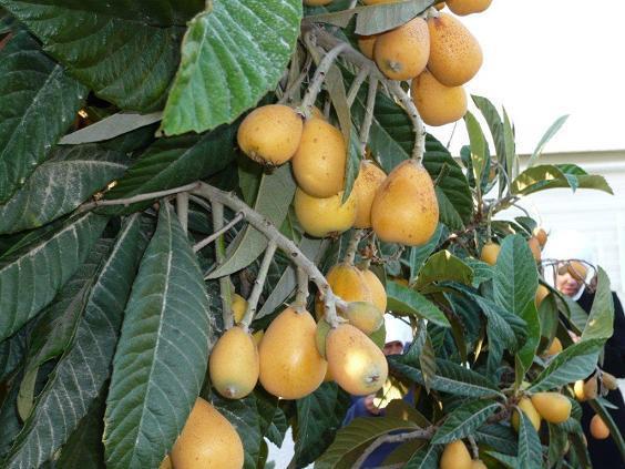البشملة,فاكهة البشملة,نبذه 189948.jpg