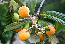 البشملة,فاكهة البشملة,نبذه 189949.jpg