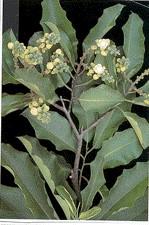 البرازيلى,شجرة البرازيلى 191948.jpg