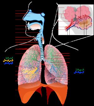 الامراض التنفسية: 236668.png