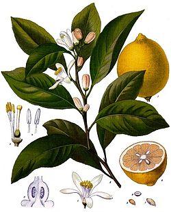 الليمون,معلومات الليمون,زراعة 257552.jpg