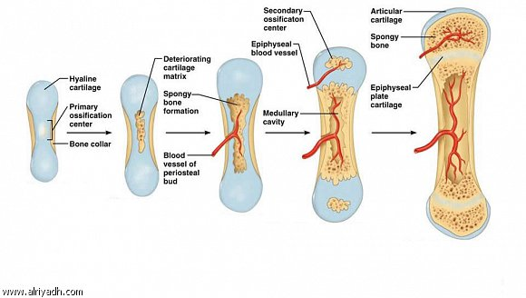 اهمية معدن المغنيسيوم للعظام والأسنان 278770