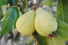 الجوافة,زراعة الجوافة,فوائد الجوافة 301396.jpeg