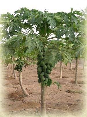 أشجار وثمار القشطة فوائد رائعة 303434.jpg