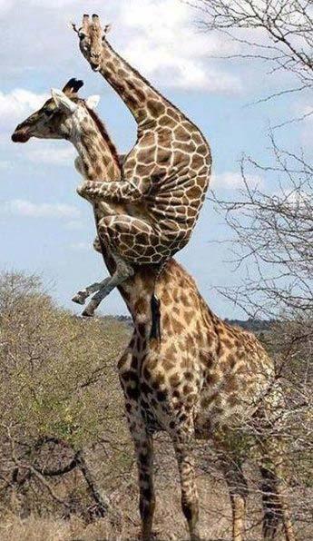 صور زرافات - Photos giraffes - صور زرافات جميلة