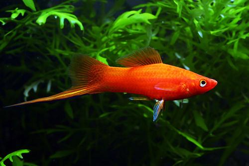السوردتيل,سمكة سوردتيل 347204.jpg