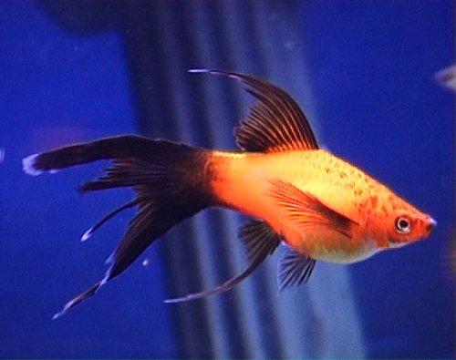 السوردتيل,سمكة سوردتيل 347205.jpg