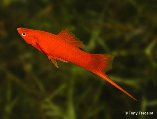 السوردتيل,سمكة سوردتيل 347206.jpg
