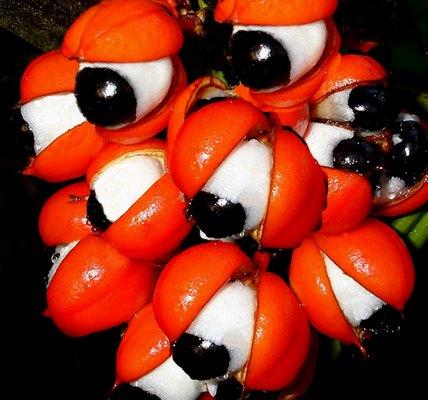 نبات ذات عيون تنظر اليك...سبحان الله 441404.jpg