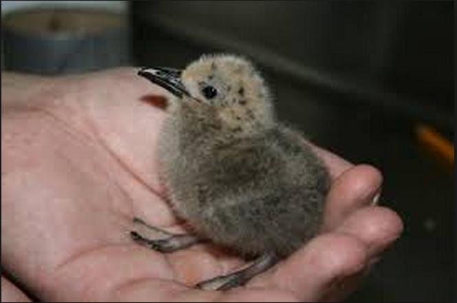 طائر خطّاف الإنكا صُور وحقائق